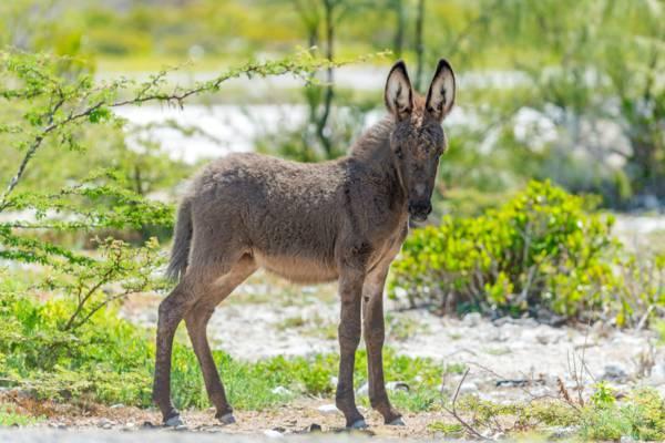 baby donkey at Grand Turk