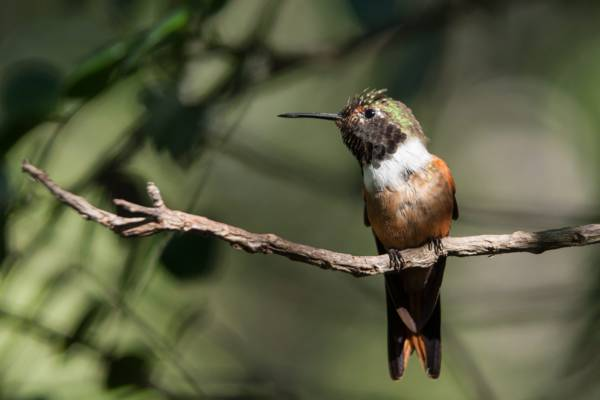 Bahamas woodstar hummingbird perch on a branch
