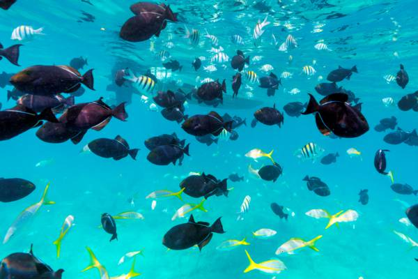 black durgon fish and yellowtail snappers at the barrier reef near Providenciales