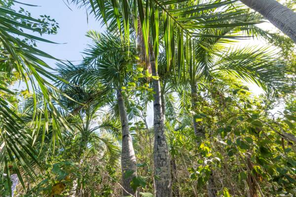 buccaneer palms (Pseudophoenix sargentii) in Turks and Caicos