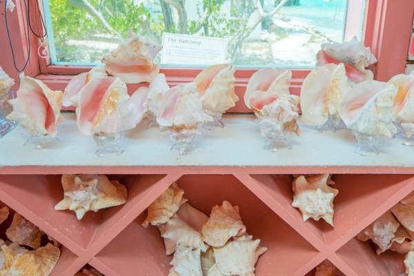 conch for sale on a shelf at the Caicos Conch Farm