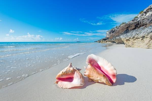 two queen conch shells at Cooper Jack Bay Beach