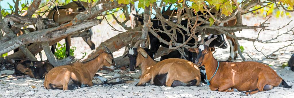small Turks and Caicos island goats at Blue Hills