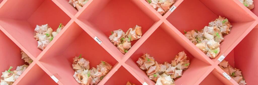 partitioned pink shelves with conch shells for sale