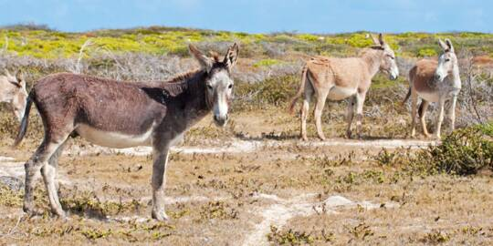 donkeys in the low coastal vegetation at South Wells on Salt Cay