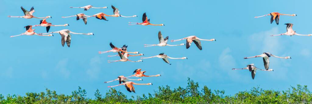 American flamingos at Middle Caicos in the Turks and Caicos