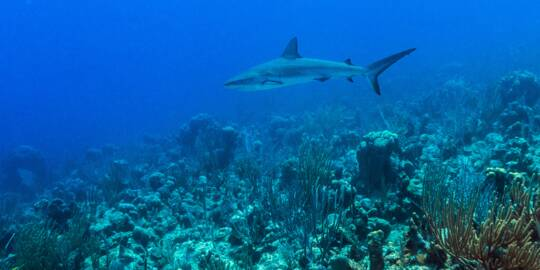 grey reef shark gliding over the Providenciales barrier reef and wall