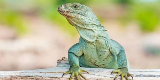 Turks and Caicos Islands Rock Iguana on a log