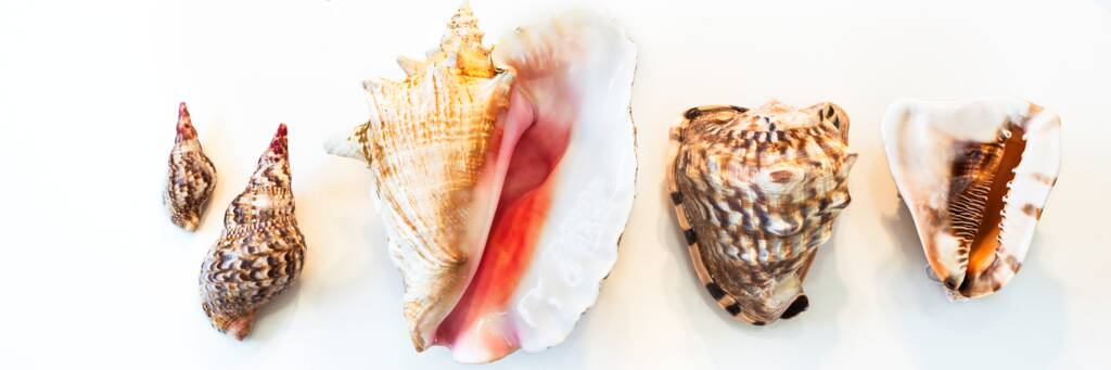 large Turks and Caicos shells