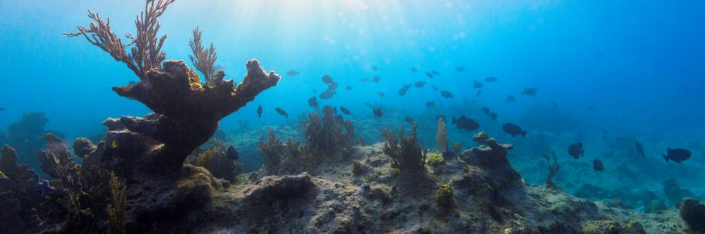 Elkhorn coral at Leeward Reef in the Turks and Caicos