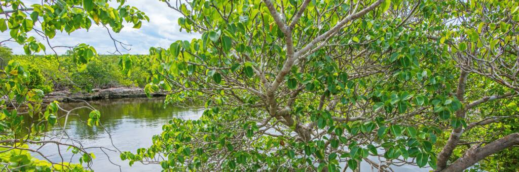 Karst-process limestone water lens pond and manchineel tree on Middle Caicos