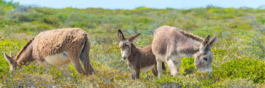 family of Salt Cay donkeys at South District