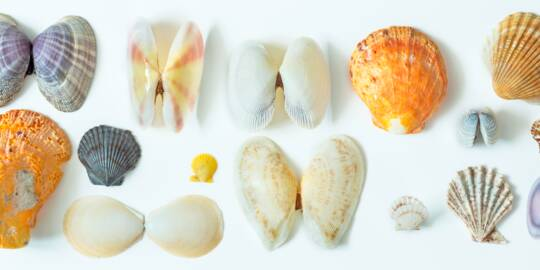 bivalve seashells from the Turks and Caicos