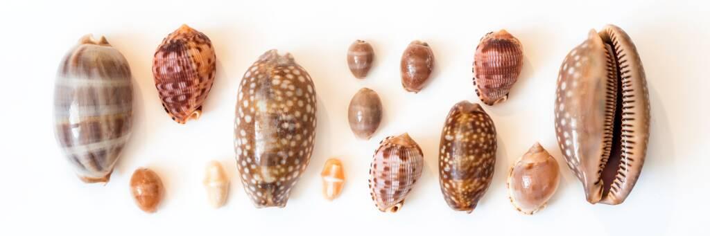 cowrie seashells from the Turks and Caicos