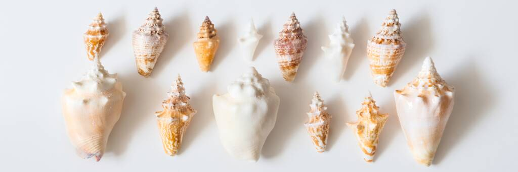 small conch shells from the Turks and Caicos