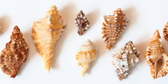 triton and murex seashells from the Turks and Caicos
