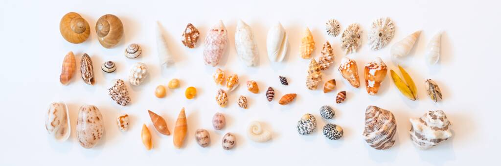 small seashells from the Turks and Caicos