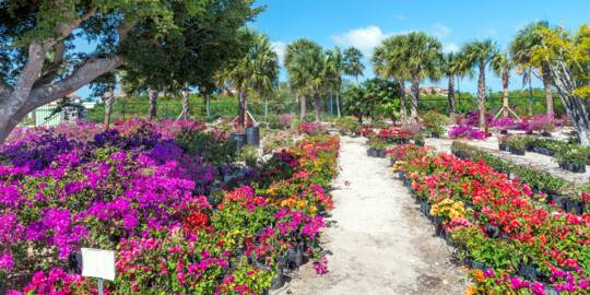 landscaping plants at Sunshine Nursery in the Turks and Caicos