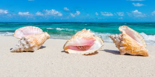 three queen conch shells on the beach at North Bay on Salt Cay