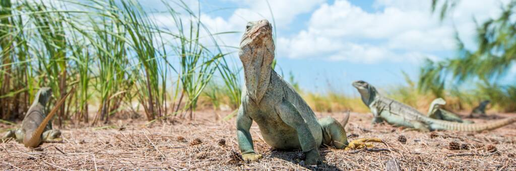 a mature adult Turk and Caicos Rock Iguana in the dunes at Half Moon Bay