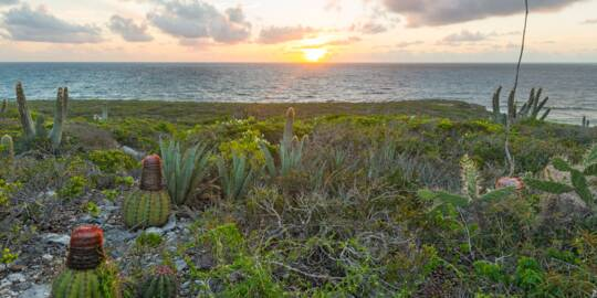 Turks Head Cacti and sisal at Goods Hill on East Caicos