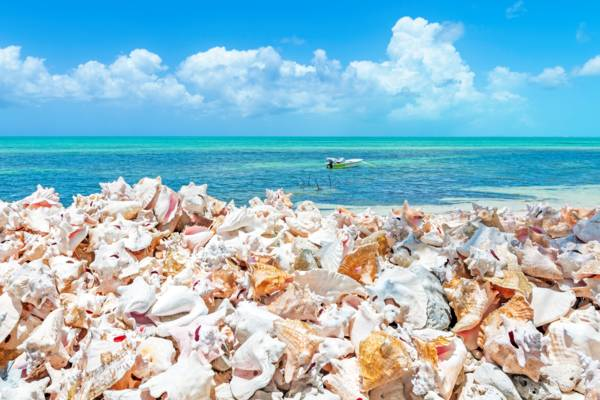 conch shells on the beach in the Turks and Caicos