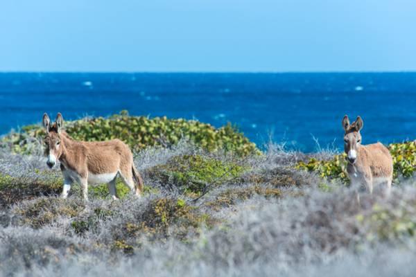 donkeys and the coastal vegetation above Whale House Bay on Salt Cay