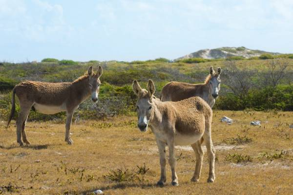 Turks and Caicos donkeys at South Wells on the island of Salt Cay