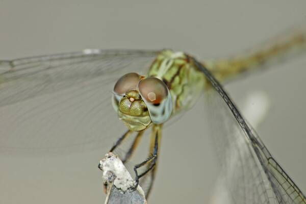 dragonfly in Turks and Caicos