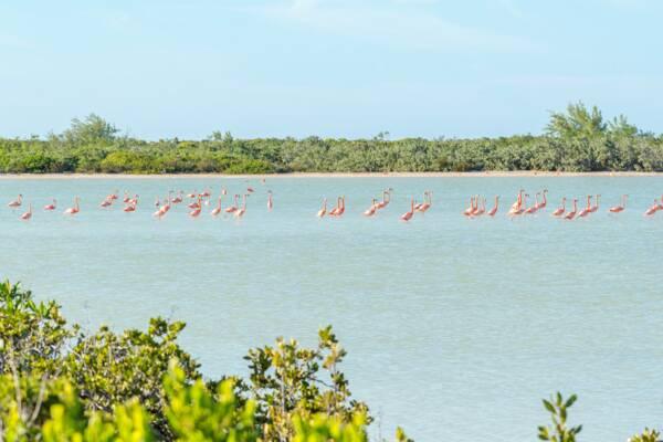 American flamingos, (Phoenicopterus ruber), on East Caicos
