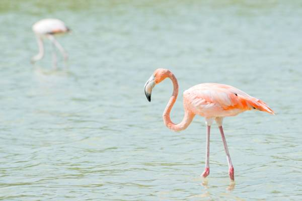 Caribbean flamingos at Montpeller Pond on Middle Caicos