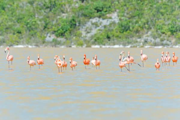 West Indian flamingos at Progin' Bay on the southwest coast of Providenciales