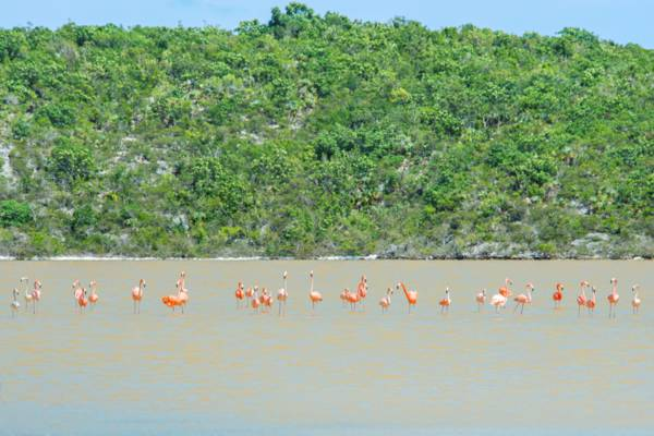 Caribbean flamingos on Middle Caicos