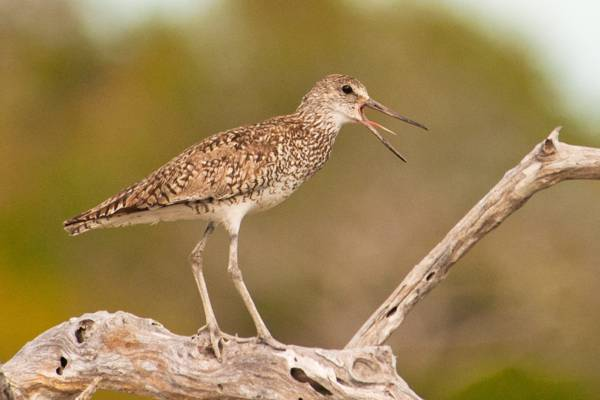 dowitcher perched on a tree in the Frenchman's Creek Nature Reserve in the Turks and Caicos