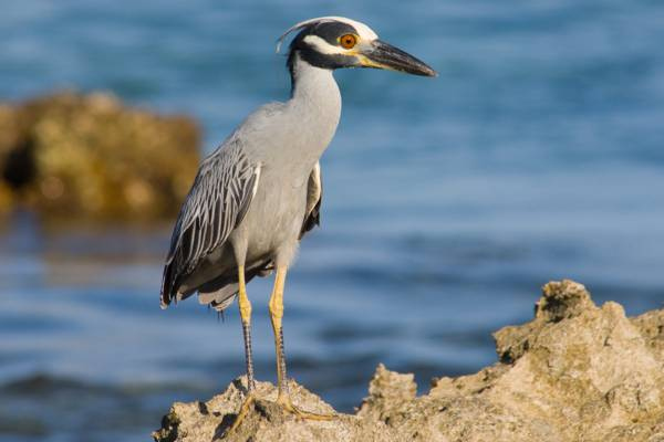 yellow-crowned night heron on the coast of the Northwest Point Marine National Park