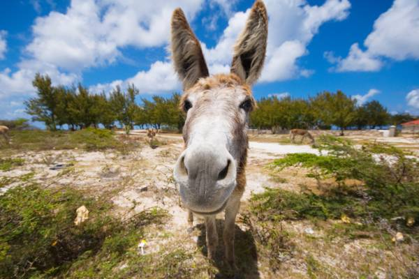 friendly donkey in the Turks and Caicos