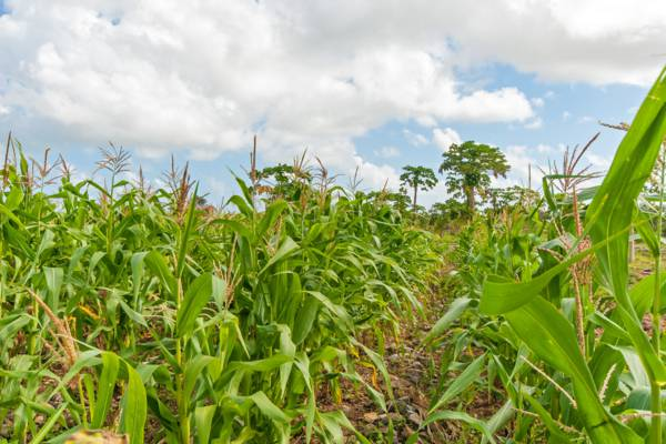 "field of ""guinea corn"" maize on North Caicos"
