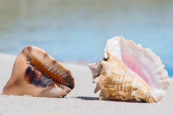 queen helmet and queen conch on the beach in the Turks and Caicos