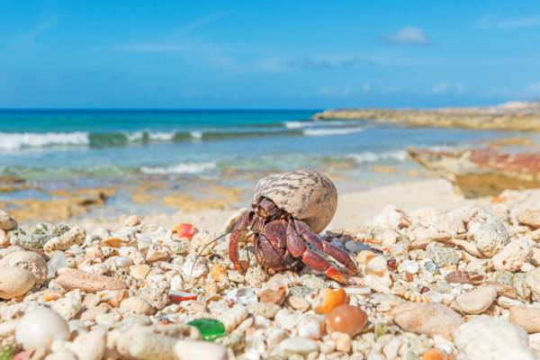 hermit crab in a West Indian top shell at Northwest Point on Providenciales
