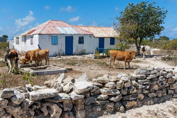 cows at a homestead in South District on Salt Cay