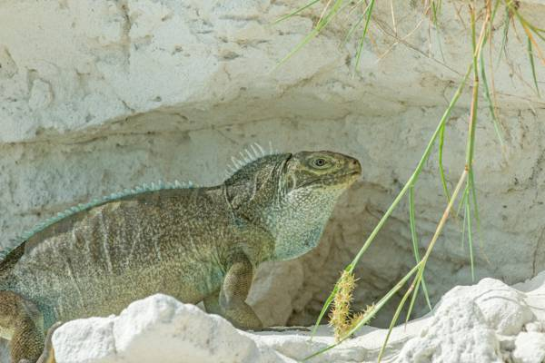 Turks and Caicos Rock Iguana in front of a dune burrow on Little Water Cay