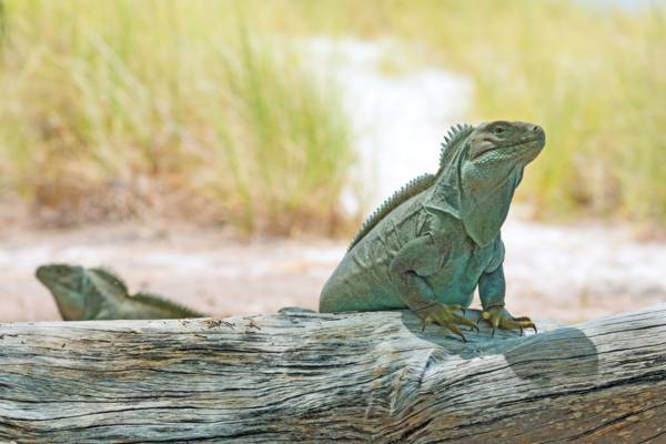 Turks and Caicos Rock Iguana on a log at Half Moon Bay