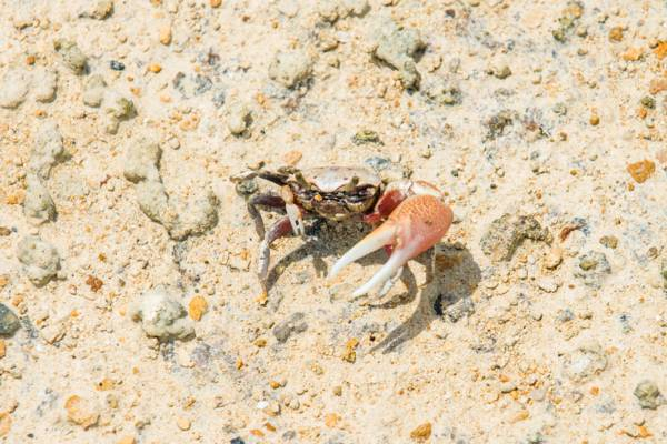 juvenile giant blue land crab in the Frenchman's Creek Nature Reserve on Providenciales