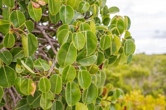leaves from the manchineel tree (Hippomane mancinella)