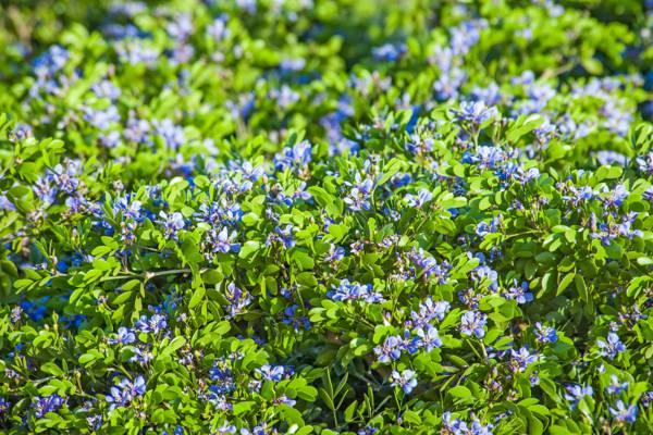 purple flowers of the lignum vitae tree (Guaiacum sanctum)