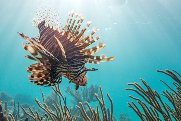 lionfish (pterois volitans) at a reef in the Bight off of Providenciales