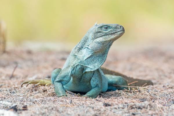 the critically-endangered Turks and Caicos Rock Iguana (Cyclura carinata)
