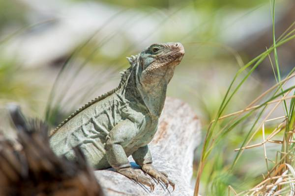 a Turks and Caicos Rock Iguana (Cyclura carinata) sitting on a log in the dunes at Half Moon Bay