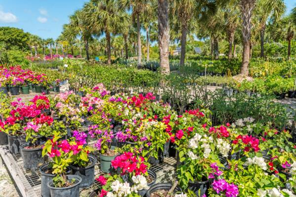 bougainvillea plants and palms at a propagation nursery in the Turks and Caicos