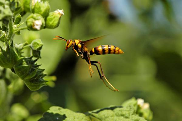 flying paper wasp in the Turks and Caicos